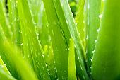 Aloe vera fresh slize.