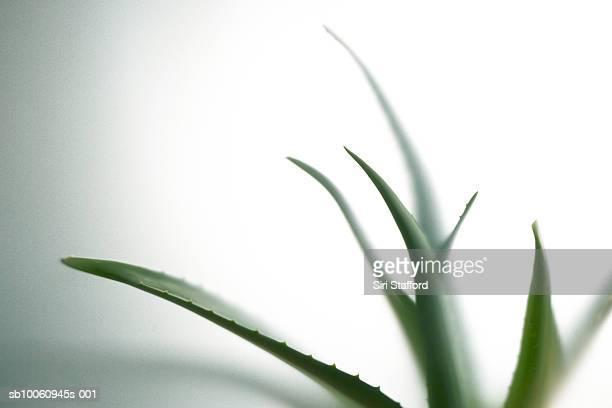 Aloe vera leaves, close-up