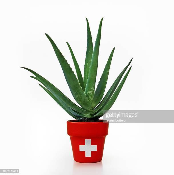 Aloe vera, medicinal plant