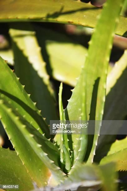 Aloe vera plant cactus in an aroma spice garden in Kumily on January 06 2010 in Kumily near Trivandrum Kerala South India