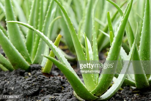 aloe vera plant growth in farm stock photo getty images. Black Bedroom Furniture Sets. Home Design Ideas