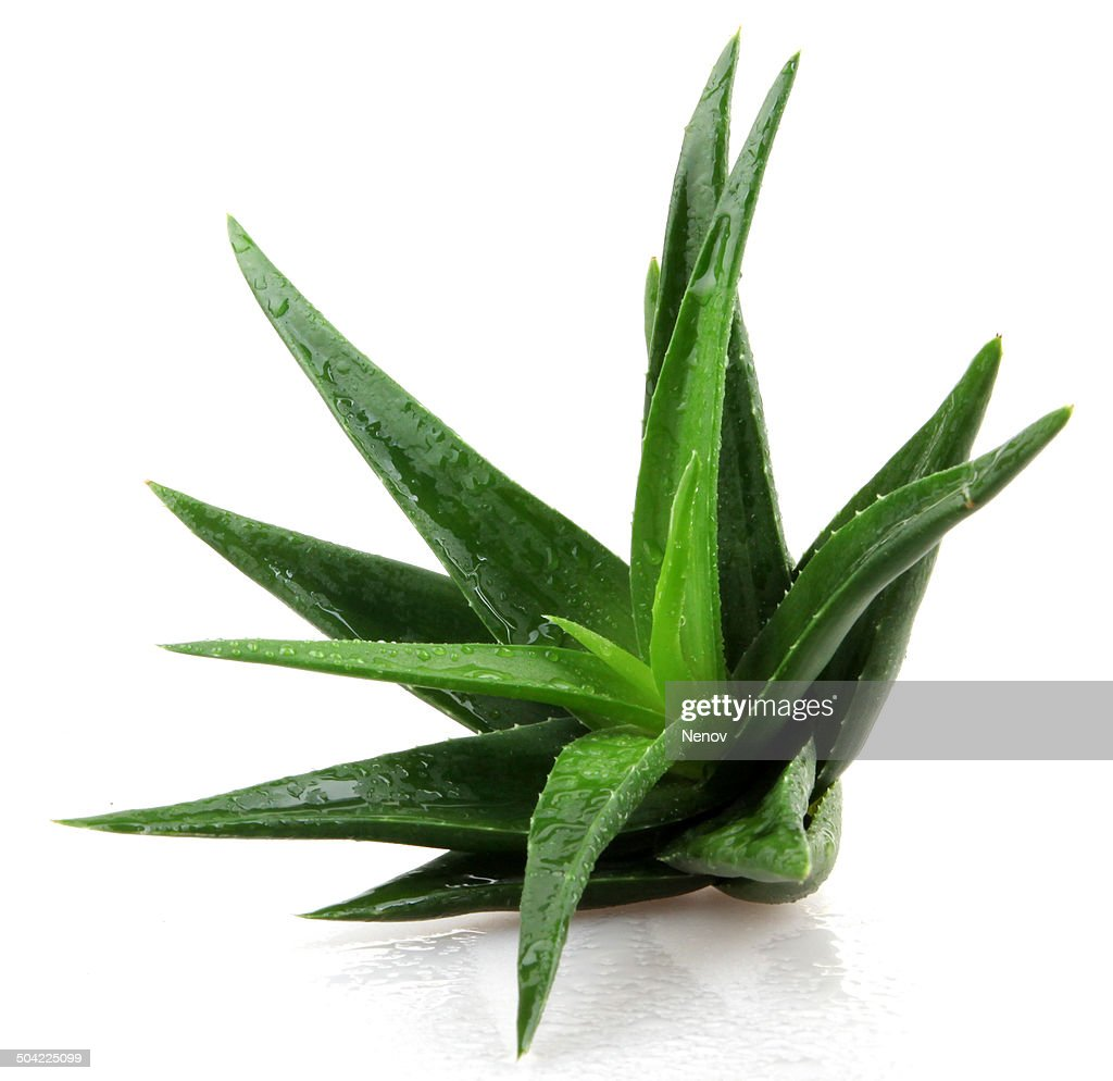 aloe vera plant isolated on white background stock photo getty images. Black Bedroom Furniture Sets. Home Design Ideas