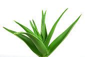Aloe Vera Plant Isolated On white Background.