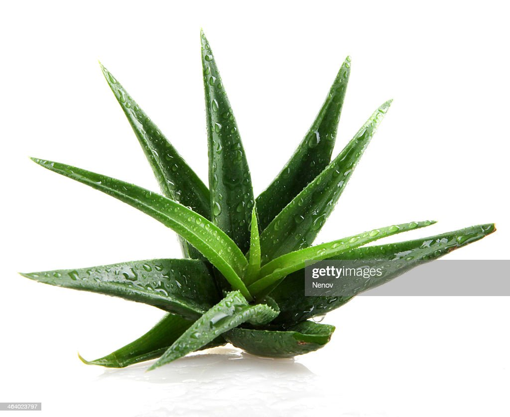 aloe vera plant isolated on white stock photo getty images. Black Bedroom Furniture Sets. Home Design Ideas