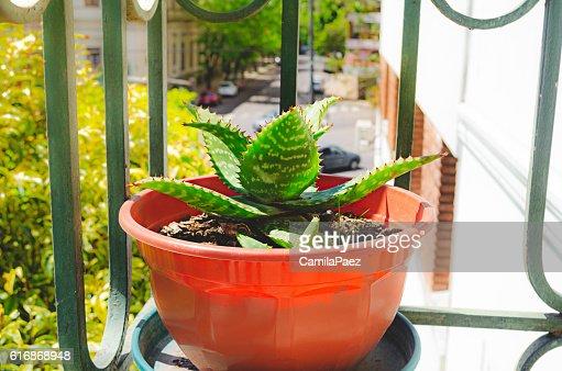 Aloe vera plant : Stock Photo