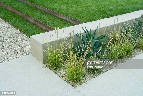 Aloe vera plants along walkway