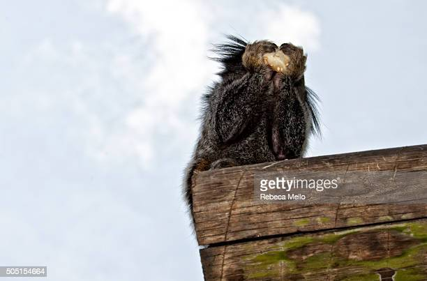 Alone, a Brazilian marmoset is eating on the wooden trunk