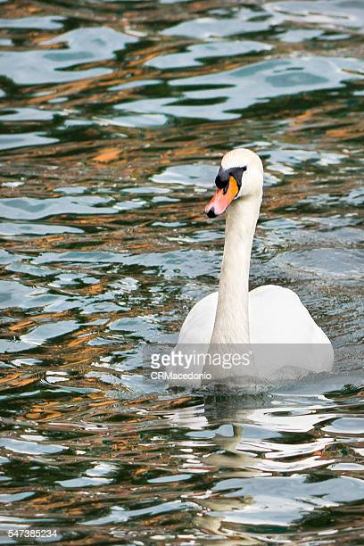 Alone in the lake. White swan alone in the calm waters of the lake.
