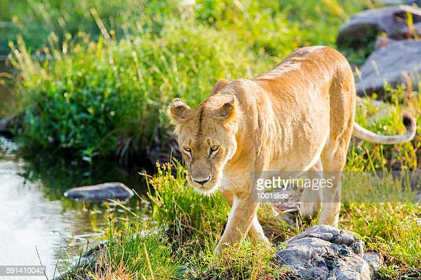 Alone Lioness preying near waterhole