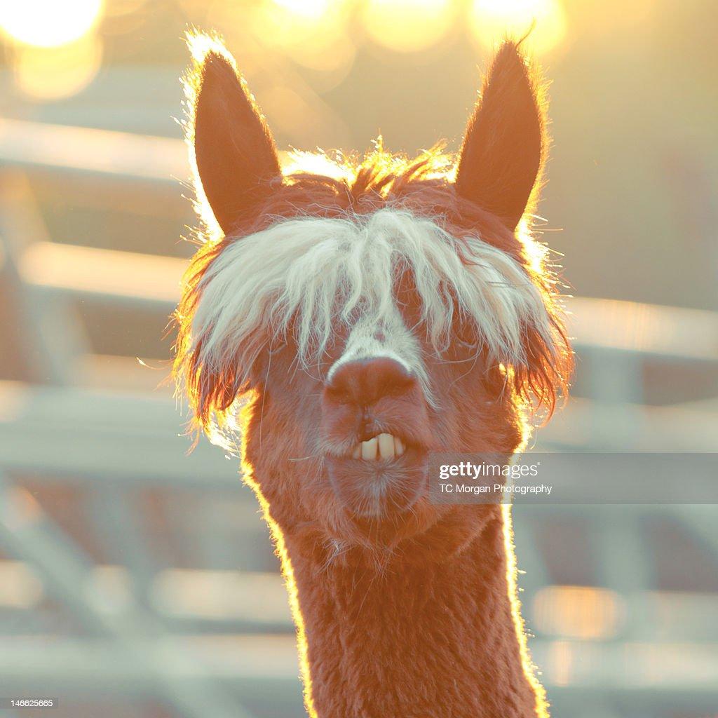 Alpaca at sunset : Stock Photo