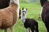 Alpaca livestock keep in taiwan