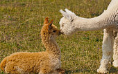 Two baby Alpaca's share an affectionate moment.