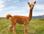 Young alpaca on pasture