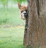 Young alpaca portrait