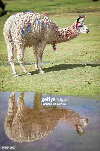 Alpaca reflected on water