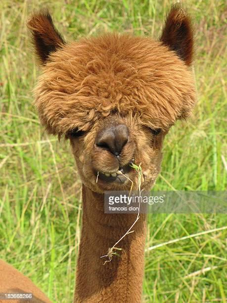 Alpaca with funny face