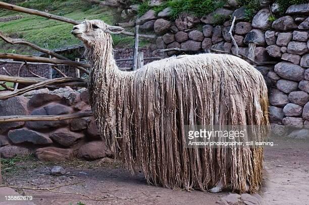 Alpacas are originating in the inhospitable Andean