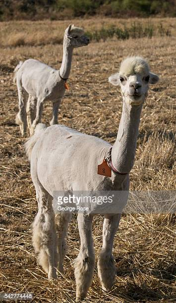 Alpacas are seen in the Santa Rita Hills an agricultural wine grape growing region located in the western hills between Lompoc and Buellton which has...