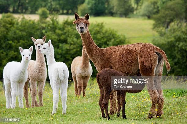 Alpacas at Town End Farm near Kendal in the Lake District National Park Cumbria UK