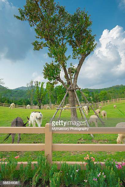 Alpacas farm