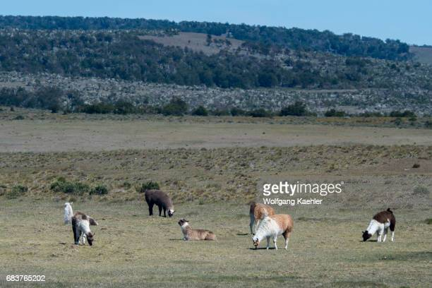 Alpacas grazing on an estancia near Torres del Paine National Park in southern Chile