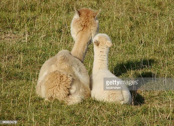 Alpakas-Mutter und Kind