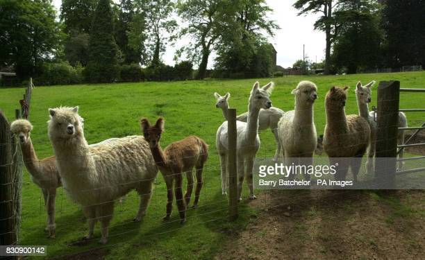 Alpacas owned by Ben Harford who lives near WottonunderEdge Gloucestershire When investment banker Harford decided to leave his job and return to the...