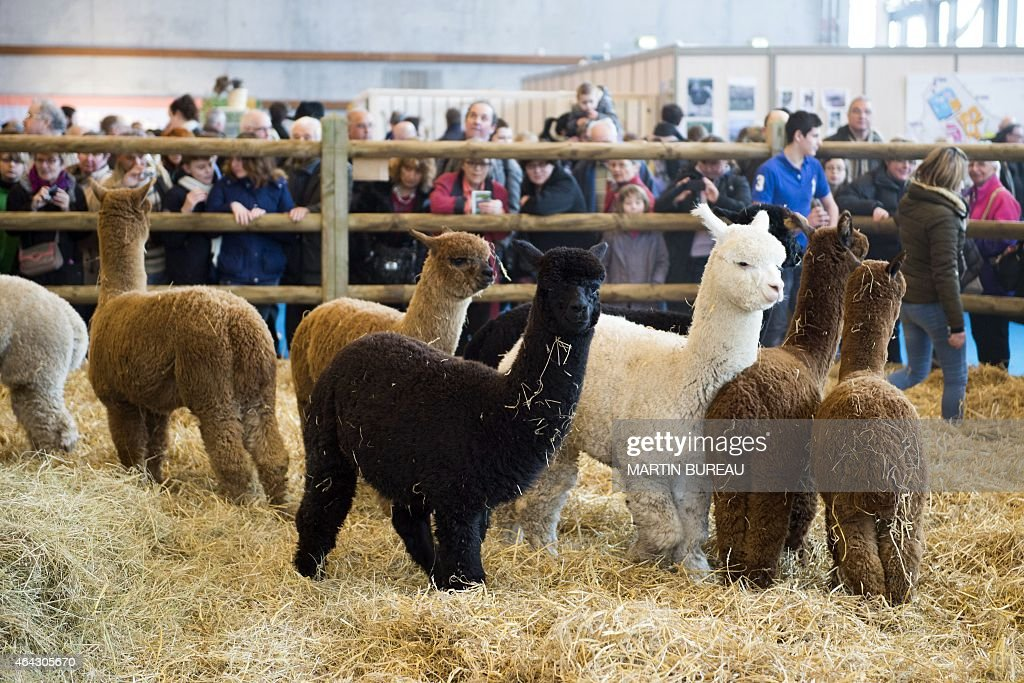 Alpacas stand in their enclosure at the 2015 edition of the Paris International Agricultural Fair on February 24 2015 in Paris AFP PHOTO / MARTIN...