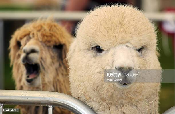 Alpacas wait to be judged in the arena at the Devon County Show on May 19 2011 in Exeter England One of the regions biggest county shows it is often...