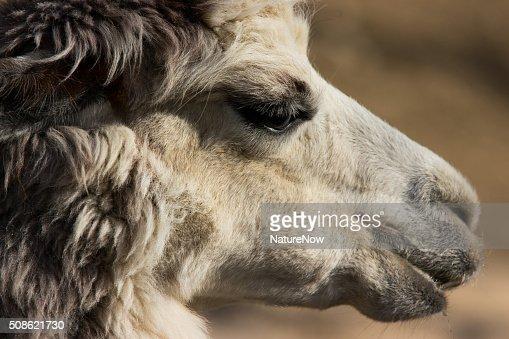 Alpaka Portrait : Stock Photo