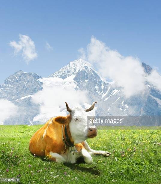 Alpen cow laying on green grass