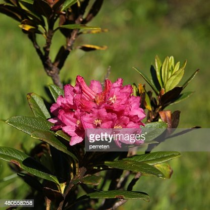 Alpenrosen, wildflowers growing in high altitude : Stock Photo