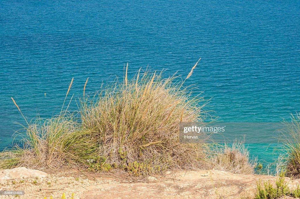 Alfa hierba, Stipa tenacissima : Foto de stock