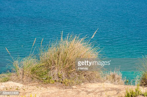 Alpha grass, Stipa tenacissima : Stock Photo
