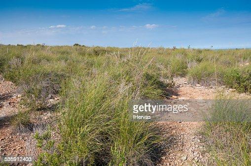 Alpha grass, Stipa tenacissima, steppe : Stock Photo
