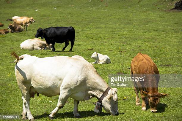Alpine cattle on the Ofenpass Pass dal Fuorn in the Val Mustair part of the Swiss National Park Switzerland