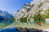 Alpine cow drinking water from Obersee lake, Konigssee, Germany