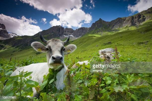 alpine Kuh