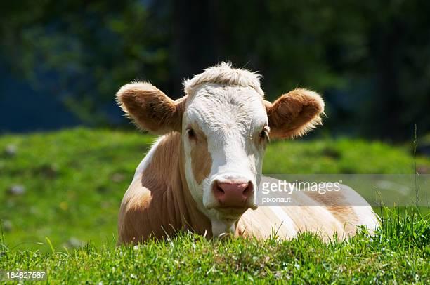 Alpine de vache