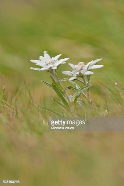 Alpine Edelweiss -Leontopodium nivale-, Carinthia, Austria
