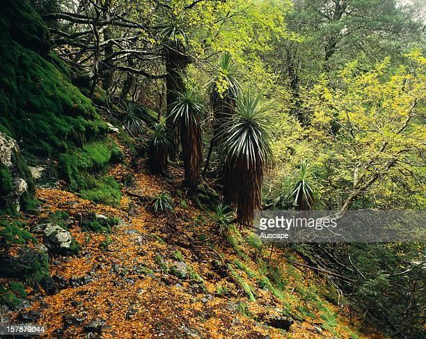 Alpine forest in Waterfall Valley in autumn Cradle MountainLake St Clair National Park Tasmania Australia