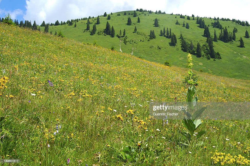 Alpine grassland with Great Yellow Gentian Gentiana lutea