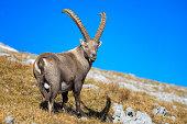 Alpine Ibex in the alps