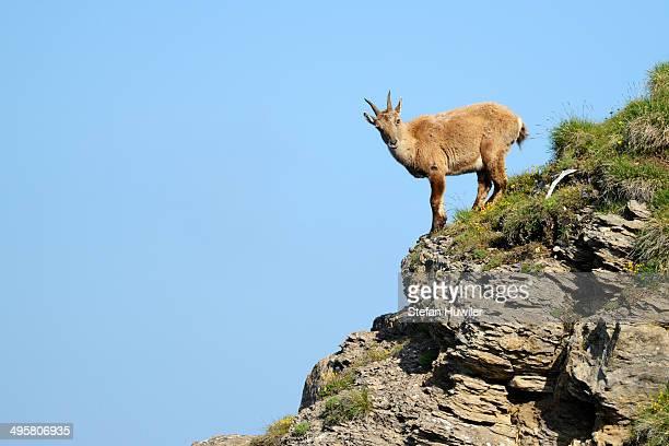Alpine Ibex -Capra ibex-, Bernese Oberland, Canton of Bern, Switzerland