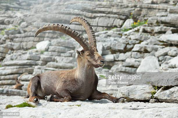 Alpine Ibex -Capra ibex-, Canton of St. Gallen, Switzerland