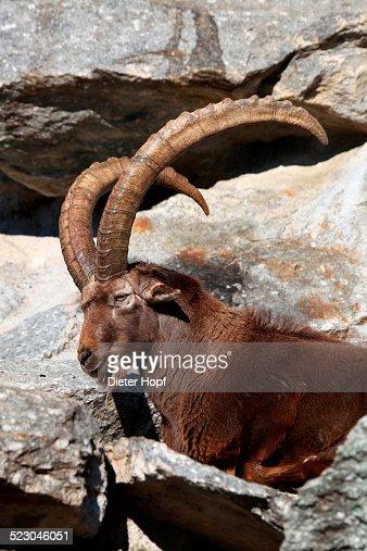 Alpine ibex -Capra ibex-, captive, Austria, Europe