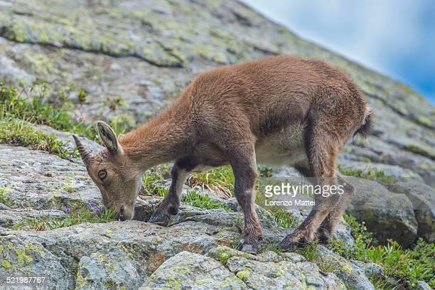 Alpine Ibex -Capra ibex- feeding on flowers on a rock, Mont Blanc, France