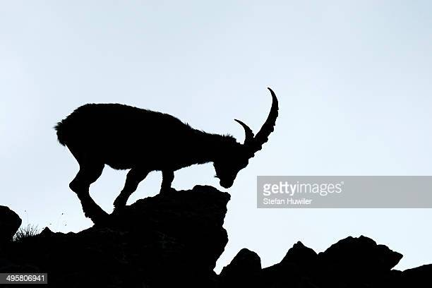 Alpine Ibex -Capra ibex-, silhouette, Bernese Oberland, Canton of Bern, Switzerland