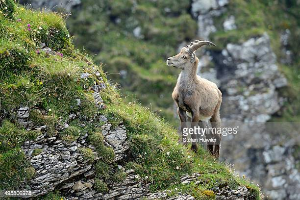 Alpine Ibex -Capra ibex- standing on steep terrain, Bernese Oberland, Canton of Bern, Switzerland