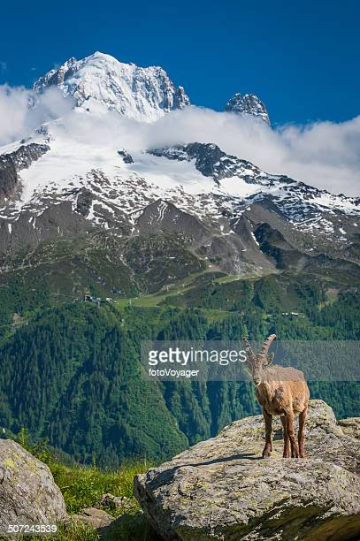 Alpine Ibex high in Alps overlooking snow mountain peaks